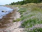 sters-Strandsennep (Cakile maritima ssp. baltica)
